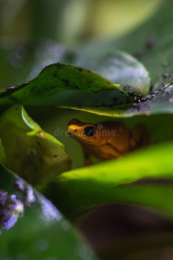 Tiro macro detallado de una rana colorida del dardo del veneno en un terrario imagen de archivo