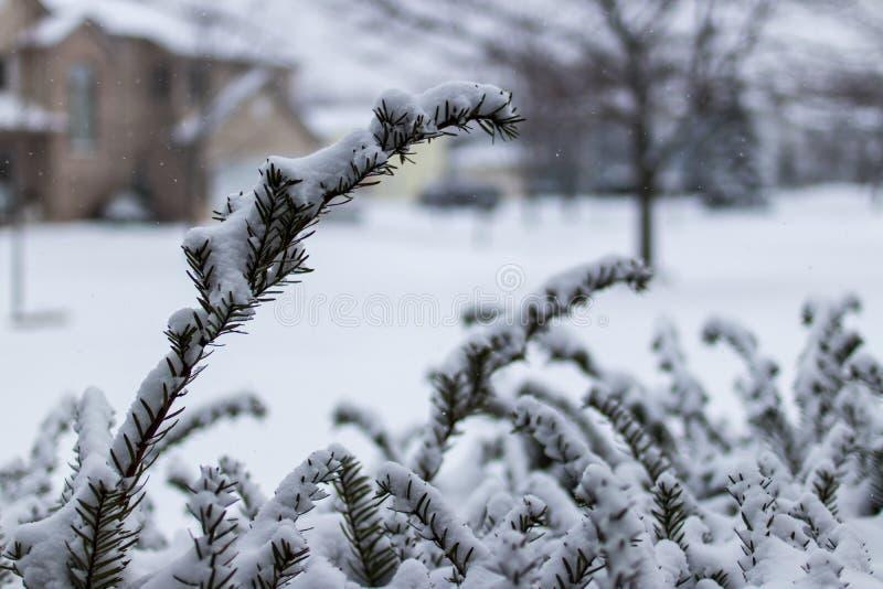 Tiro macro do arbusto coberto na neve fotos de stock