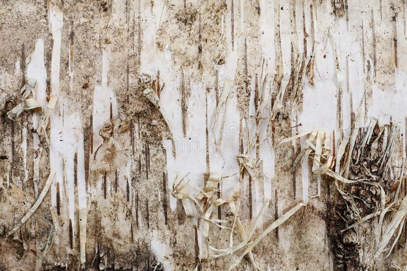 Tiro macro do close up da textura da casca de vidoeiro, fundo abstrato fotografia de stock
