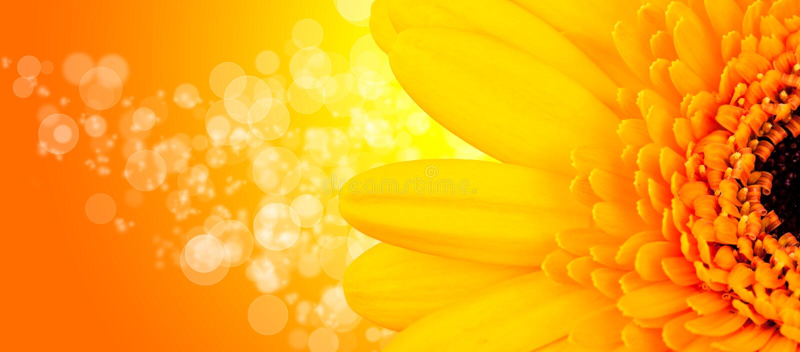 Flor de Gerber foto de stock
