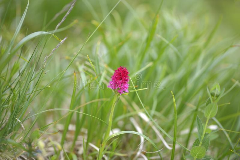 Tiro macro do rubra de Nigritella Nigritella é um gênero de plantas de florescência do Orchidaceae da família de orquídea fotografia de stock royalty free