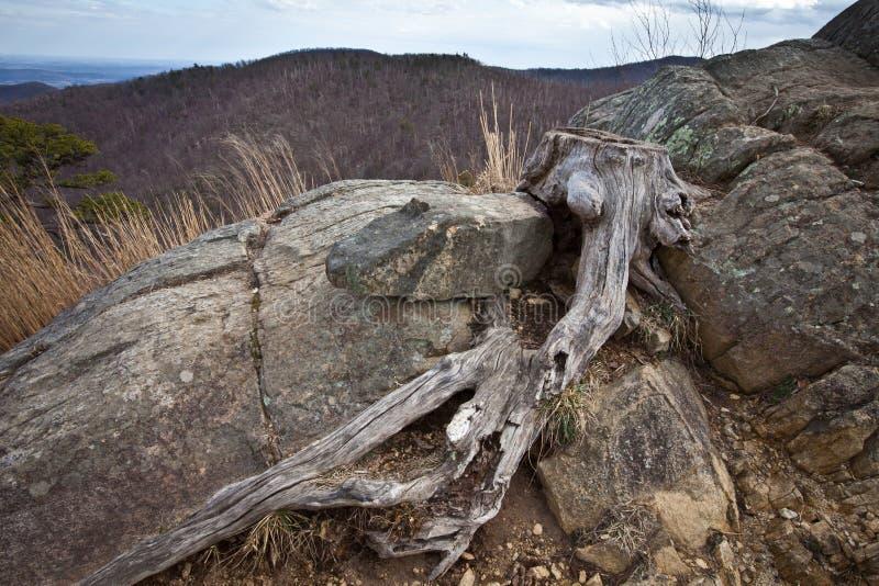 Tiro macro do tronco de árvore gnarled no Ridge azul imagens de stock