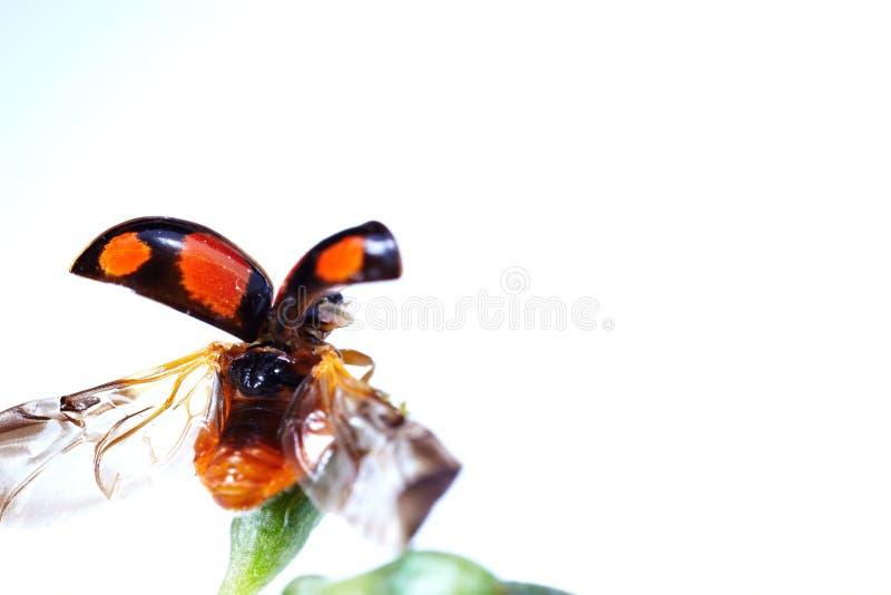 Download Macro do joaninha foto de stock. Imagem de inseto, verde - 29830444