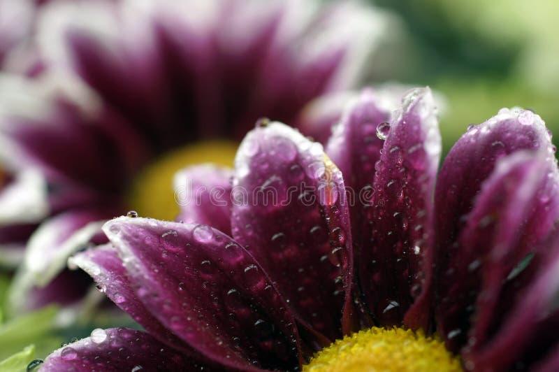 Tiro macro que sorprende de una flor mojada fotografía de archivo libre de regalías