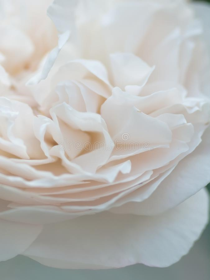 Tiro macro romântico da flor cor-de-rosa branca bonita Fundo floral do borrão imagens de stock royalty free