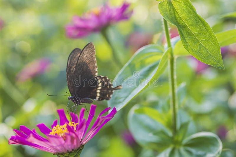 Tiro macro, una mariposa negra en una pequeña flor roja fotografía de archivo