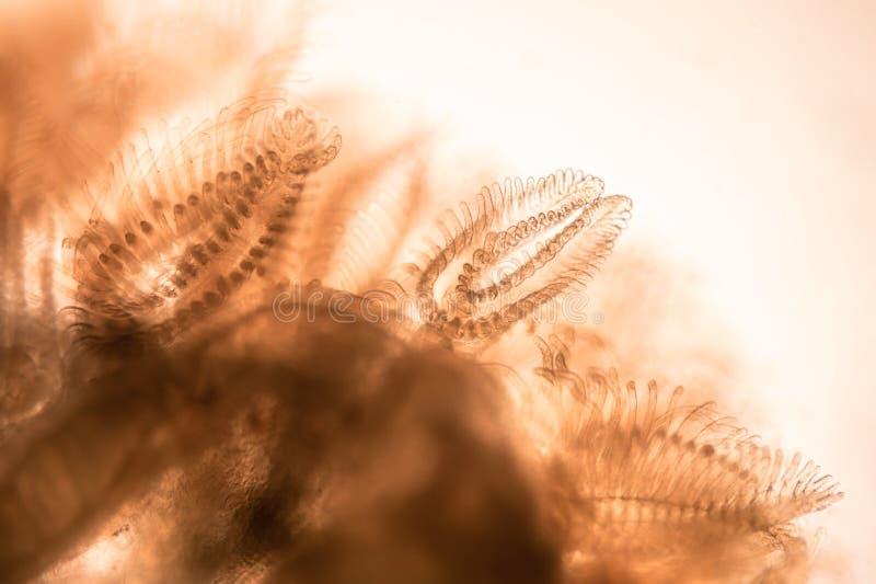 Tiro microscópico de los tentáculos del animal de musgo del mucedo de Cristatella fotografía de archivo