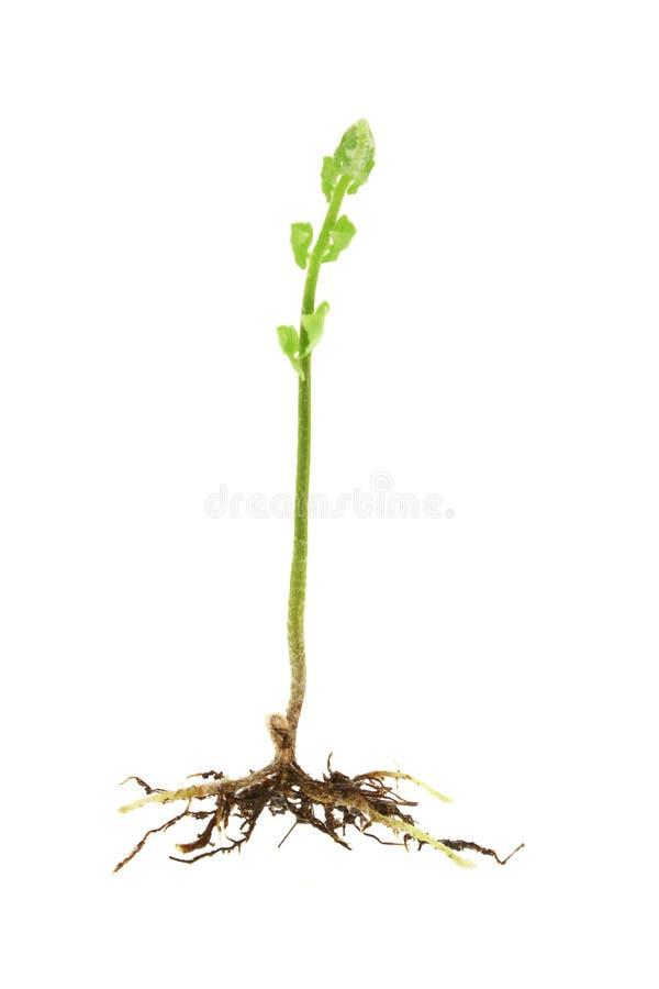 Tiro novo de uma planta do fern fotografia de stock royalty free