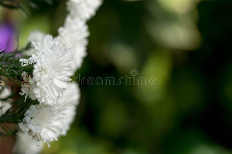 tiro obscuro do close up completo horizontal do comprimento do CCB das flores brancas imagem de stock royalty free