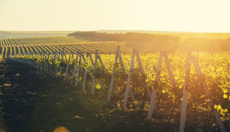 Tiro panorâmico de um vinhedo do verão no por do sol imagem de stock royalty free