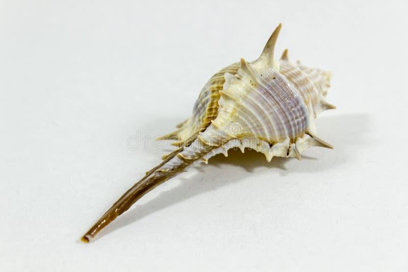 Tiro próximo claro da concha do mar bonita com fundo branco imagens de stock royalty free
