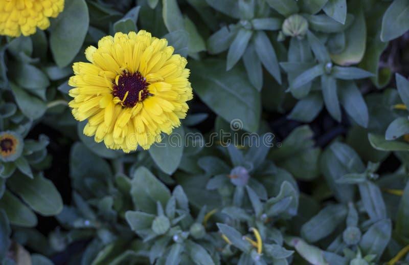 Tiro próximo da flor inglesa do cravo-de-defunto Fundo ascendente e borrado próximo fotografia de stock royalty free