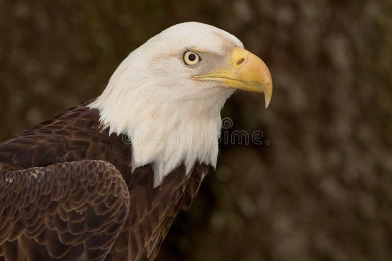Tiro principal calvo de Eagle (5) imagen de archivo libre de regalías