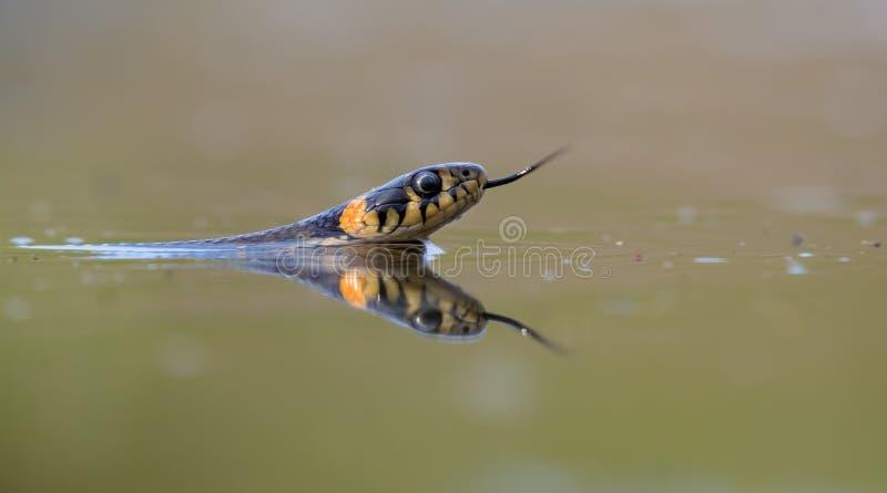 Tiro principal da natação da serpente de grama em águas verdes ao caçar com colagem de sua língua para fora para recolher perfume imagens de stock