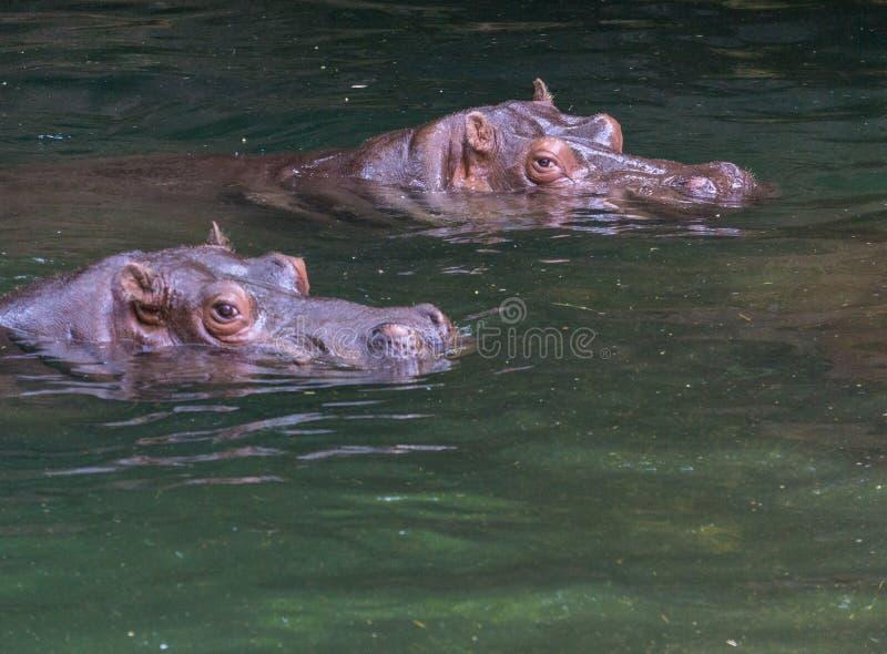 Tiro principal de dois hipopótamos na água fotografia de stock