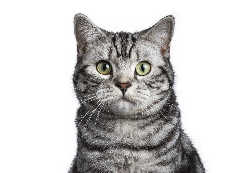Tiro principal de la sentada británica del gato del shorthair aislado en el fondo blanco fotografía de archivo