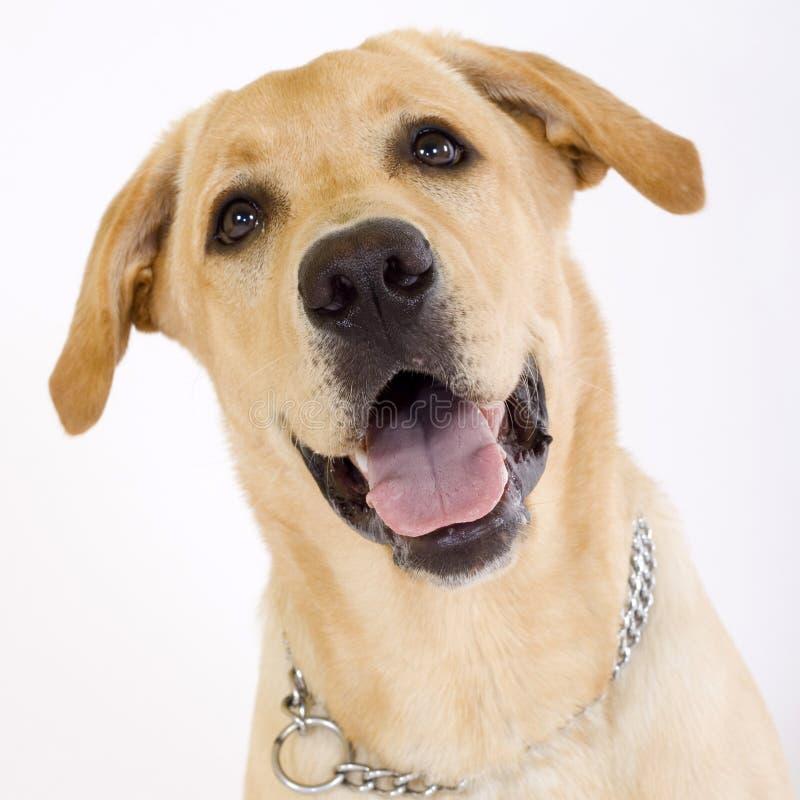 Tiro principal de Labrador amarillo imagen de archivo