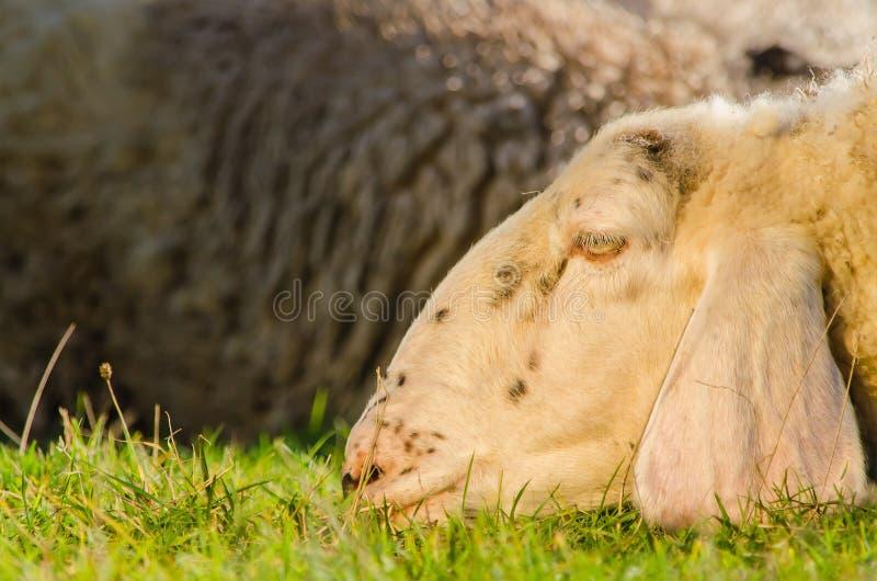 Tiro principal de las ovejas blancas que ponen en la tierra fotografía de archivo