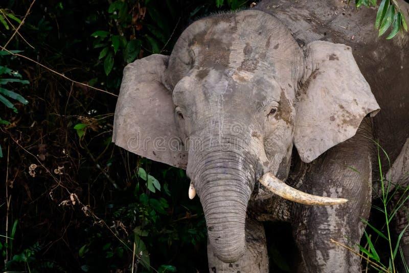 Tiro principal de um elefante masculino do pigmeu imagem de stock
