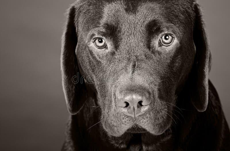 Tiro principal de um filhote de cachorro bonito de Labrador imagem de stock royalty free