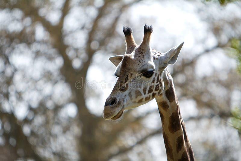 Tiro principal de um Giraffe fotografia de stock royalty free