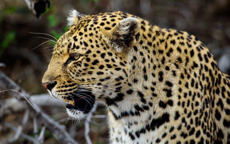 Tiro principal de um leopardo masculino foto de stock royalty free