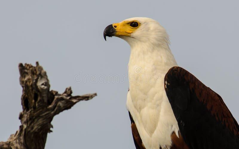 Tiro principal de uma águia americana foto de stock royalty free
