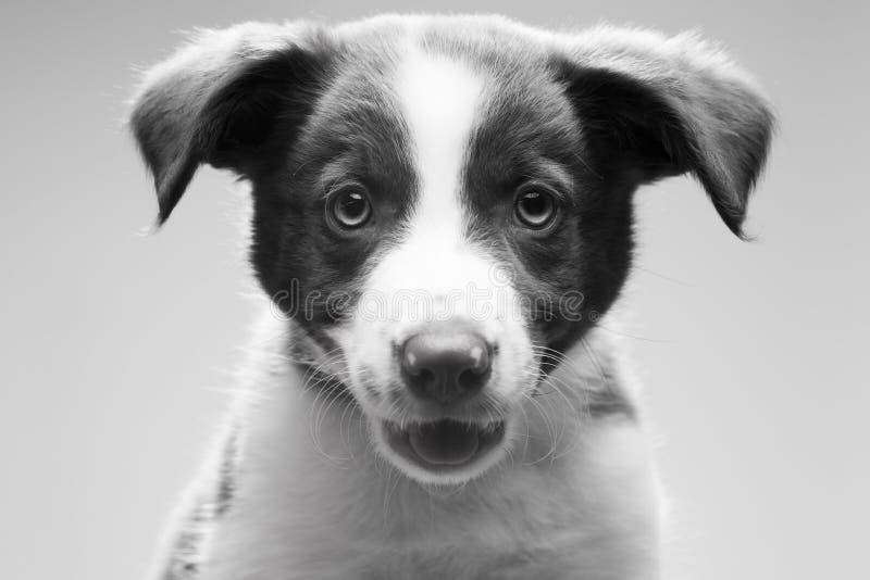 Tiro principal del perrito del collie de frontera fotos de archivo libres de regalías