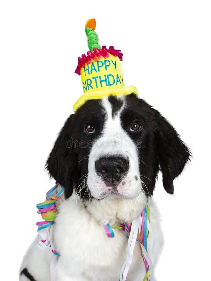 Tiro principal divertido del sombrero blanco y negro y de las guirnaldas de la fiesta de cumpleaños del perro de perrito de Lands imágenes de archivo libres de regalías