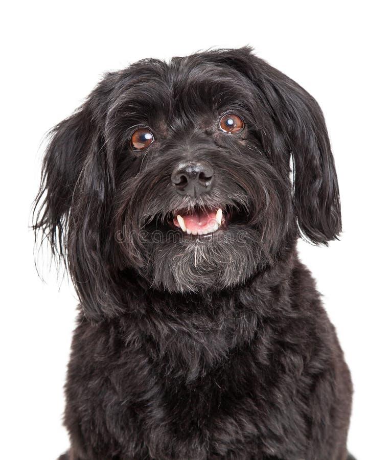 Tiro principal do cão curioso de Havanese com a boca aberta fotografia de stock royalty free