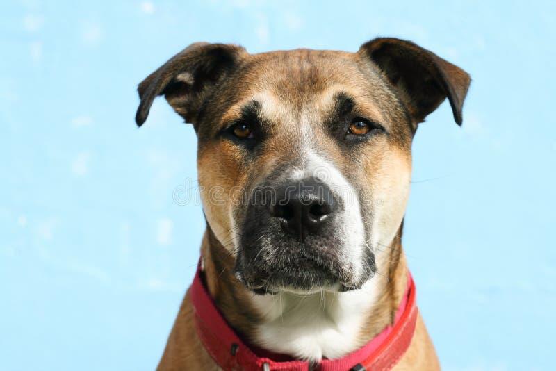Tiro principal do cão novo da grande raça misturada com orelhas flexíveis, vestindo um coll vermelho imagens de stock