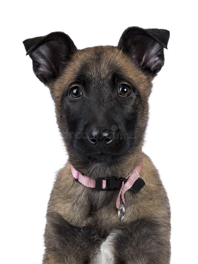 Tiro principal do cão-pastor/cachorrinho belgas que olha in camera isolados no fundo branco imagem de stock royalty free