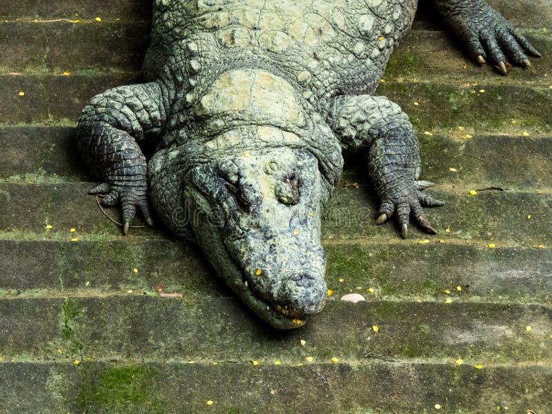 Tiro principal do close up do crocodilo imagem de stock