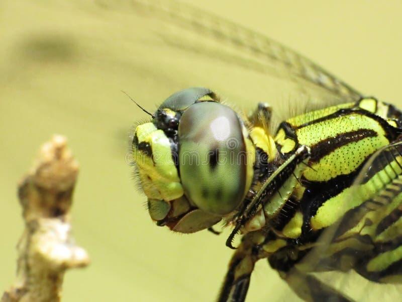 Tiro principal do close-up de uma espumadeira verde Variegated foto de stock royalty free
