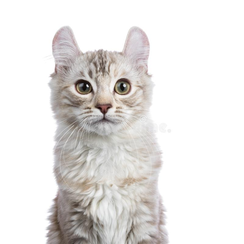 Tiro principal do gato americano da onda do gato malhado do tortie da prata do chocolate imagem de stock royalty free