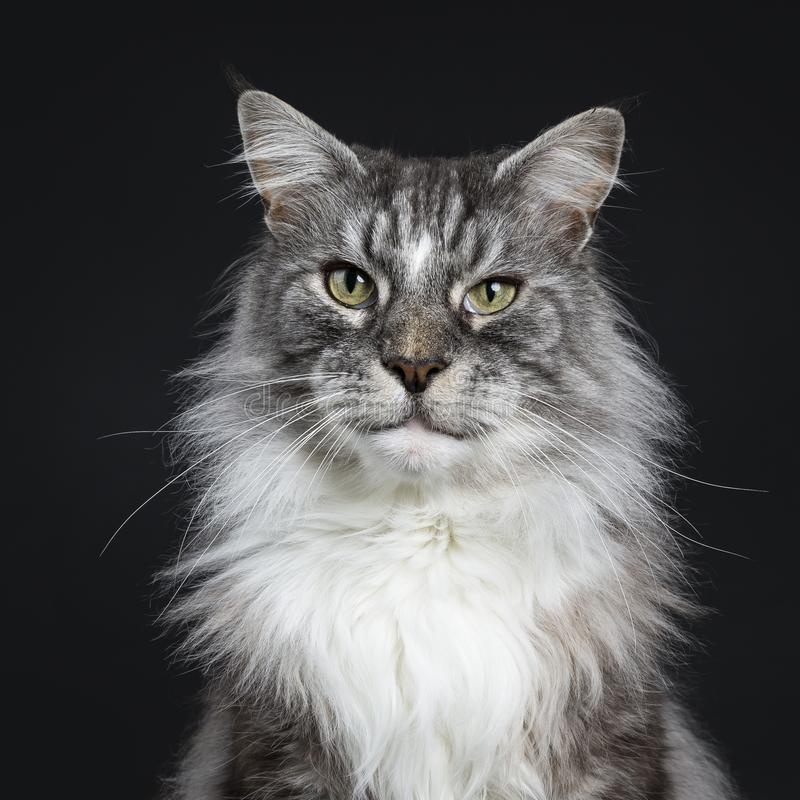 Tiro principal do gato superior adulto considerável de Maine Coon que senta-se enfrentando a parte dianteira isolada no fundo pre imagem de stock royalty free