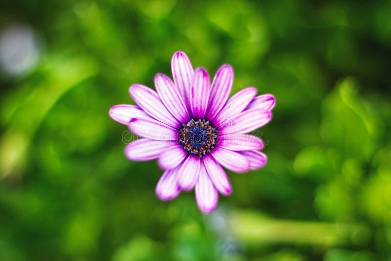 Tiro roxo de Daisy Flower Macro imagem de stock