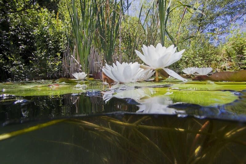 Tiro subacuático del lutea del nuphar del lirio de agua fotos de archivo libres de regalías
