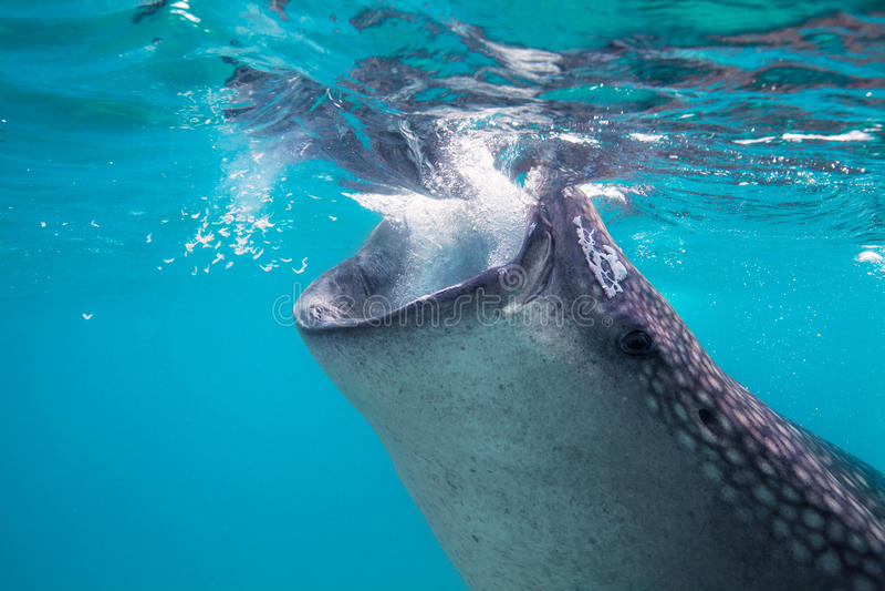 Tiro subaquático de tubarões de baleia gigantescos (typus do Rhincodon) imagem de stock