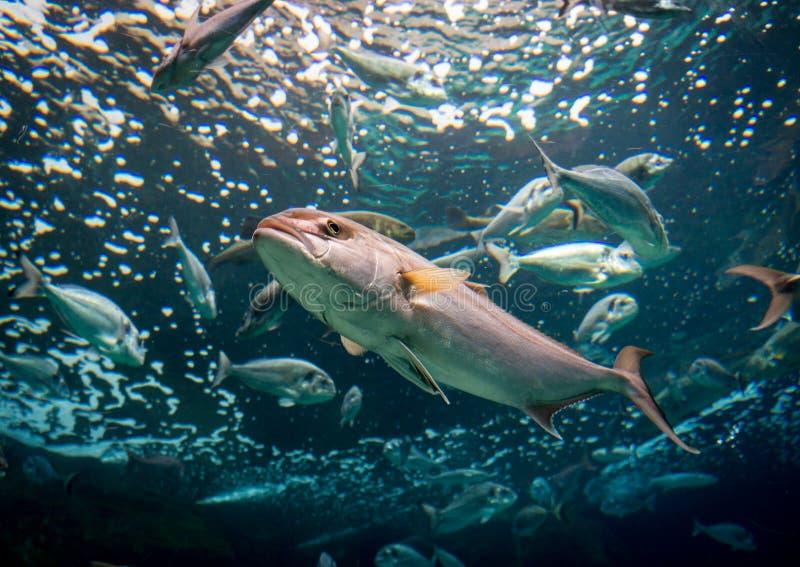 Tiro subaquático de um peixe imagem de stock