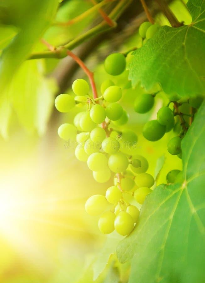 Tiro verde del primer de las uvas foto de archivo libre de regalías