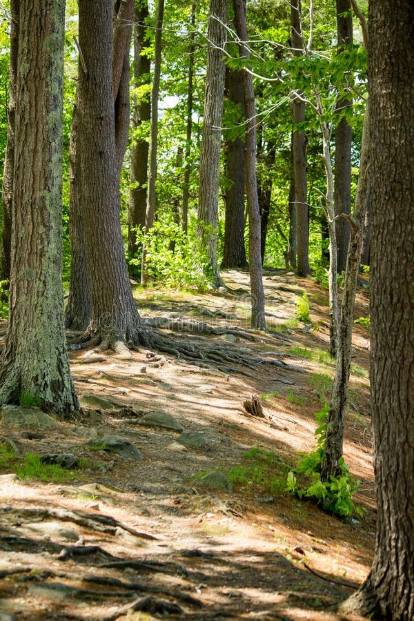 Tiro vertical de árvores verdes e uma estrada enlameada em uma floresta bonita em um dia ensolarado fotos de stock