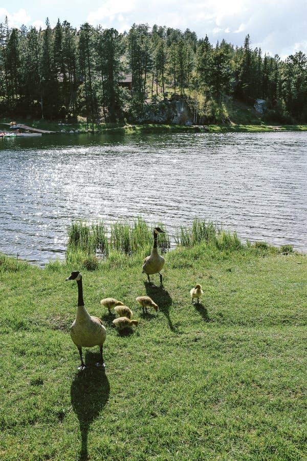 Tiro vertical de dos patos que se colocan en hierba con los anadones cerca del agua imágenes de archivo libres de regalías