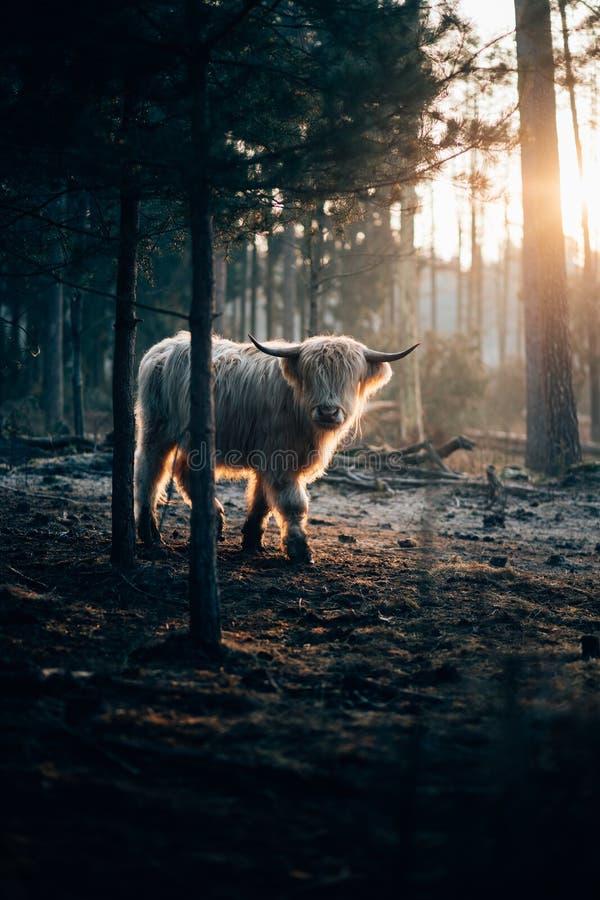 Tiro vertical de um iaque horned branco selvagem bonito que anda em uma floresta escura com luz solar no direito foto de stock royalty free