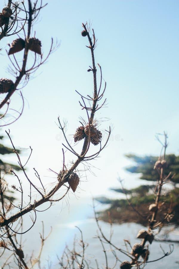 Tiro vertical de um ramo do pinho de lagoa com fundo borrado imagens de stock