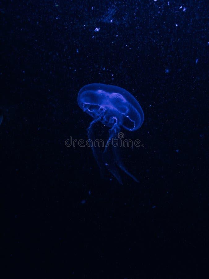Tiro vertical de uma medusa azul na água escura fotografia de stock