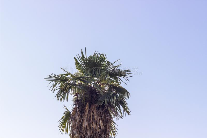 Tiro vertical del cielo azul abierto de par en par con el árbol grande verde de la palma en Esmirna en Turquía foto de archivo