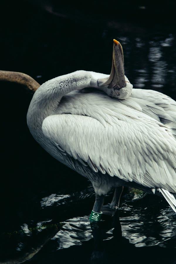 Tiro vertical del primer de un pelícano hermoso blanco en un lago foto de archivo libre de regalías