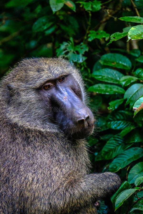 Tiro vertical do babuíno que senta-se perto das plantas com fundo natural borrado foto de stock royalty free