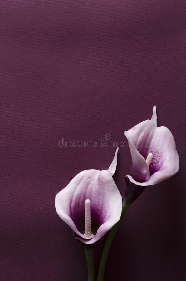 Tiro vertical Dois callas roxos na superfície violeta escura foto de stock